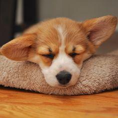 sleeping corgi. kill me dead so cute.