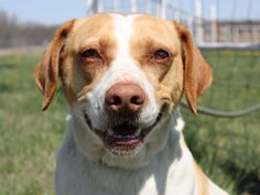 Available for adoption. 3 year old Lab mix named Nelson. www.jfcountypets.com