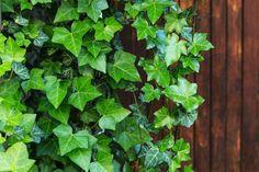 Brečtan popínavý vám to splní - STARKL Ficus, Hera, Ivy Plants, Home And Garden, Outdoor Structures, Rugby, Indoor, Flat, Gardens