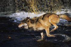 忍者のオオカミ : Photo