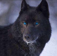 Black Wolf! Beautiful!