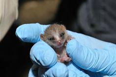 Baby Mouse Lemur season wraps up at Duke Lemur Center August 2012