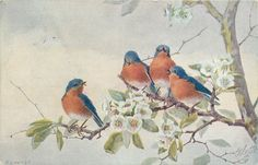 Birds and Blossoms, Raphael Tuck and Sons Postcard. Blue Birds