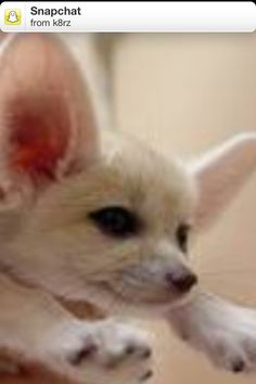 Cute puppy Cute Puppies, French Bulldog, Fox, Animals, Animales, Animaux, French Bulldog Shedding, Bulldog Frances, Animal