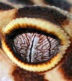 Les étonnants yeux du Gecko léopard (Eublepharis macularius) …