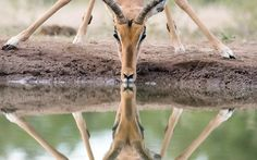 An impala is reflected perfectly in the water while drinking at a waterhole in Botswana