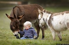 toddler plays with miniature donkeys 'snuggle pot' and 'livingstone' | australia | foto: david caird