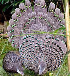 O Faisão Esporeiro de Chinquis (português europeu) ou faisão-eperonier (português brasileiro) (Polyplectron bicalcaratum) é o pássaro nacional de Myanmar, outrora conhecida como Birmânia.
