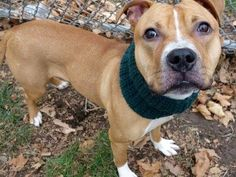TO BE DESTROYED - 12/06/14 Manhattan Center -P  My name is NASHVILLE. My Animal ID # is A1021372. I am a male brown and white pit bull mix. The shelter thinks I am about 2 YEARS old.  I came in the shelter as a STRAY on 11/22/2014 from NY 10467, owner surrender reason stated was STRAY.