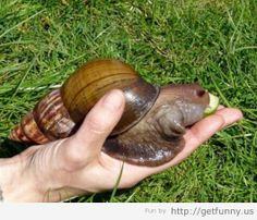 AMAZING SNAILS | african wild snails 06 Amazing and Creepy Giant Snails of Africa ...
