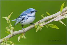 Warblers and Hummingbirds | Greg Schneider… Birds Wood-Warblers Cerulean Warble… Cerulean ...