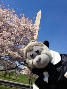 Washington Monument Cherry blossom festival March 2016