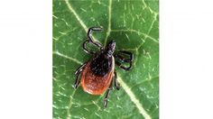 Diagnosed with Chronic Fatigue Syndrome or Fibromyalgia? It Could Be Lyme Disease - Prohealth : Diagnosed with Chronic Fatigue Syndrome or Fibromyalgia? - It Could Be Lyme Disease Homemade Tick Repellent, Natural Tick Repellent, Tick Repellant, Insect Repellent, Get Rid Of Ticks, Remove Ticks, Sante Bio, Tick Removal, Insects