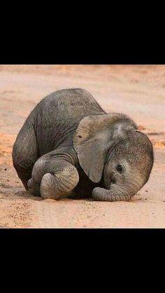 Very new elephant calf