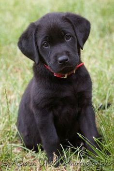 Lab Puppies Awww how can you not be In love with this Labrador Retriever face! Black Lab Puppies, Cute Puppies, Cute Dogs, Dogs And Puppies, Doggies, Black Puppy, Baby Dogs, Corgi Puppies, Funny Dogs