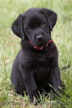 Labrador retriever pup.