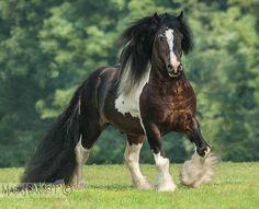8545CP1.jpg :: Gypsy Vanner Horse stallion