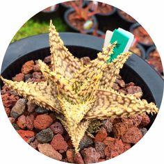 """Aloe cv """"Invictus"""""""
