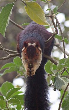 Indian Giant Squirrel / Malabar Giant Squirrel (Ratufa indica) - Periyar. Kerala, India.