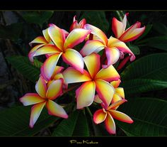 Hawaiian Flowers - The Plumeria Puu Kahea -- I want to get a hawaiian style flower tattoo on my shoulder to remind me of hawaii they call that a frangipani in oz Tropical Flowers, Hawaiian Flowers, Exotic Flowers, My Flower, Beautiful Flowers, Plumeria Flowers, Plumeria Tree, Lilies Flowers, Cactus Flower