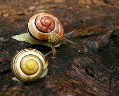 Caracóis. São moluscos da classe gastropoda. Esta classe inclui caracóis e caramujos e as lesmas.
