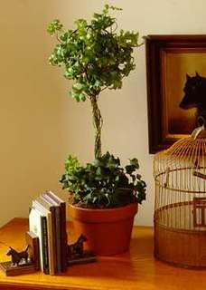 How to make a topiary - great for an inside container or outside garden interest.