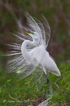 Great Egret garca branca grande by estela
