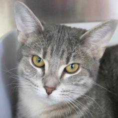 Hi, I'm Kellie! I'm an adult spayed female gray, blue or silver tabby Domestic Short Hair.