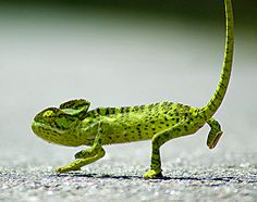 Indian Reptiles  Chameleon350 x 277 | 54.2KB | www.indianetzone.com