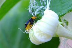 クロウリハムシ。愛嬌のある虫です。カラスウリの葉が特に好きで,必ず何匹か葉をかじっています。ウリ科の植物を好むので農家の敵。20150801FB 伊藤良一