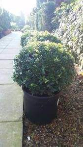 Ilex Crenata Balls to buy online from Paramount Plants in London, we specialise in quality Topiary shrubs and trees. Huge collection for sale with UK delivery. - to Buy at Paramount Plants London garden centre. Growing Tree, Growing Plants, Kinds Of Shapes, London Garden, Garden Shrubs, Topiary, Unique Art, Balls, Garden Design