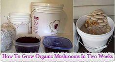 How-To-Grow-Organic-Mushrooms-In-Two-Weeks.jpg 500×270 pixels