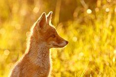 "Le P'tit Renard - ""Voici mon secret. Il est très simple: on ne voit bien qu'avec le cœur. L'essentiel est invisible pour les yeux""  (Here is my secret. It is very simple: It is only with the heart that one can see rightly; what is essential is invisible to the eye.)  Le Petit Prince Antoine de Saint-Exupéry  <strong>Red fox kit / cub (vulpes vulpes) enjoying the nice warm sun light</strong> <a href=""http://www.roeselienraimond.com"">roeselienraimond.com</a> | <a…"