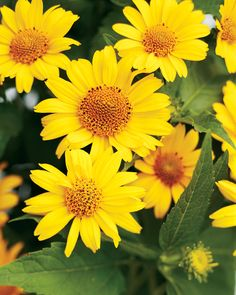 Tuscan Sun, Heliopsis  Perennial Sunflower, Receipe calls for 2, probaly should be 4