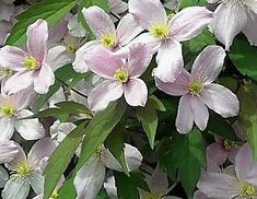 Gardening advice on how to grow Clematis, pruning groups and 3 explained, how to prune the different types of clematis, to what depth and how to plant Clematis Camping Gazebo, Mushroom Compost, Garden Compost, Gardening, Clematis Montana, Evergreen Shrubs, Organic Fertilizer, Water Plants, Biodegradable Products