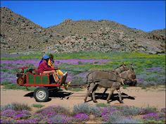 Donkey cart near Springbok, Northern Cape, South Africa Jamaica History, South Afrika, My Land, Landscape Photos, Beautiful Horses, African Art, Travel Around, Farm Animals, Scenery