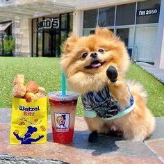 High Five, Pretzel, Dog Training, Lemonade, Puppies, Summer Drinks, Pomeranian, Pets, Animals
