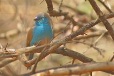https://flic.kr/p/v7aHXw | Southern Cordonbleu, Northwest Zimbabwe | also called Blue Waxbill or Blue-breasted Cordonbleu  uraeginthus angolensis  Angolees blauwfazantje cordonbleu d'Angola Blauastrild