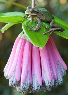 Gastrotheca plumbe & Little frog too.