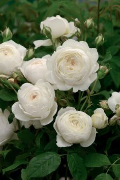 'Claire Austin' | David Austin English Rose. Climber rose. Bears large, cupped, creamy white blooms with a strong fragrance of myrrh, meadowsweet and vanilla. Vigorous and particularly healthy with elegant arching growth. 12'