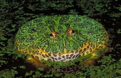 The ornate horned frog can grow up to six inches long and inhabits Uruguay, Brazil, and northern Argentina. While it may look like a lifeless pincushion, it's quick to lunge when lizards, small rodents, birds, or other frogs blunder by.