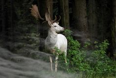 Rare white fallow deer spotted in German forest, animal photography.