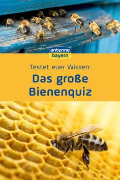 Seid ihr Bienenflüsterer, denen in Sachen Bienen niemand was vormachen kann? Hobby-Imker, die Spaß an Bienen haben, aber keine Wissenschaft daraus machen? Oder Pu, der Bär - egal, woher der Honig kommt, Hauptsache er steht am Ende auf dem Frühstückstisch? Testet jetzt euer Wissen im großen ANTENNE BAYERN-Bienenquiz! Quiz, Waffles, Breakfast, Pooh Bear, Scientia Potentia Est, Honey, Bees, Science, Balcony
