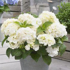 Hydrangea Potted, Hydrangea Macrophylla, California Garden, Southern California, Foundation Planting, Garden Care, Little White