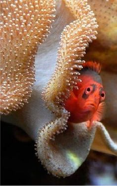 Pececillo adorable que mira a escondidas de una concha.