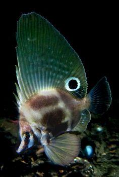 Hutchins' Boarfish (Parazanclistius hutchinsi)