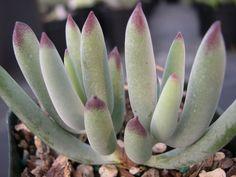 Cotyledon orbiculata 'Oophylla'