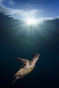Turtle going up for air Photo by Fabian Schorp — National Geographic Your Shot