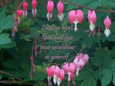 Leviticus 19:18 Love your neighbour as yourself.  Easier said than done sometimes, but truly the best way to live.  It seemed a great verse to pair with a photo of the bleeding hearts plant growing in my garden.