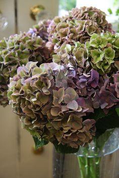 hydrangea Rodeo classic purple